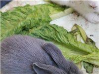自家兔生的小兔  20一只