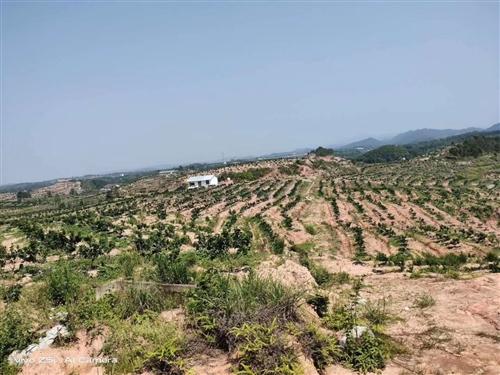 :有国家标准脐橙大果园转让,总面积125亩,种植面积125亩。现种植树苗6000珠,有两到三年的...