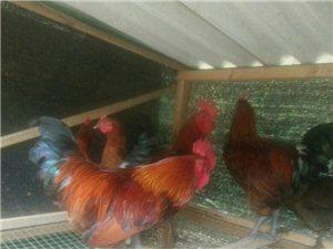 本地放养土鸡