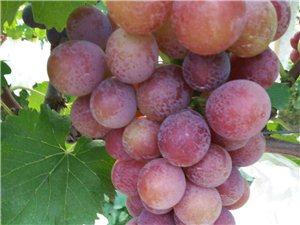 户太8号葡萄成熟了,又大又甜的无籽葡萄,大家快来选