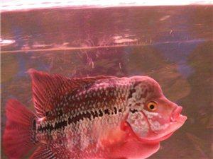 鱼缸带鱼出售