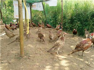 出售七彩山鸡