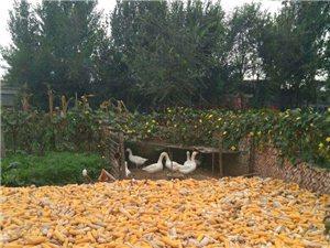 農家鵝鴨蛋