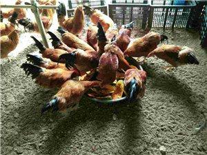 木瓜鸡销售