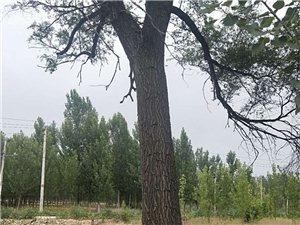 出售大榆树一颗直径80