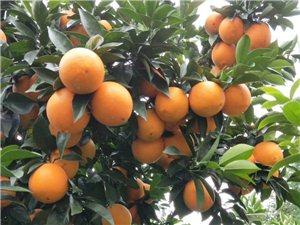 脐橙果园出售