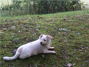 尋寵物小狗(重金酬謝,長期有效)