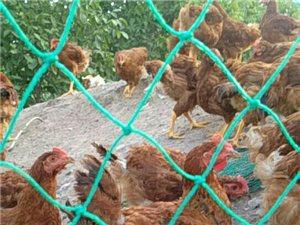 跑山鸡出售