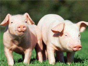 大量收購各類生豬