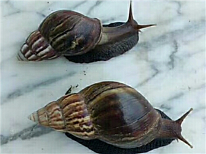 山螺批发 山螺肉批发 蜗牛批发