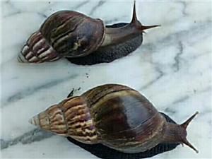 供應山螺 山螺肉 蝸牛肉
