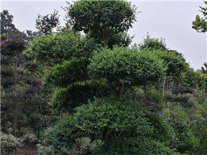 承接小區及道路綠化,出售各種造型樹和用苗