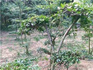 超低价50一棵出售造型树
