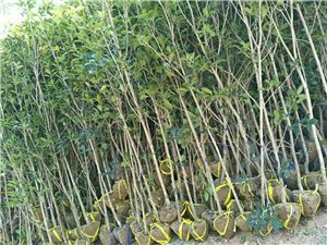 大量桂花,刚竹出售
