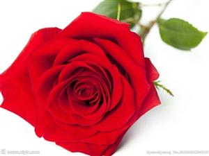批發玫瑰花