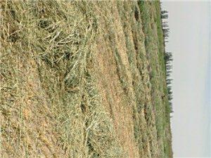 优质燕麦草出售
