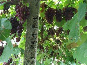 白良葡萄園