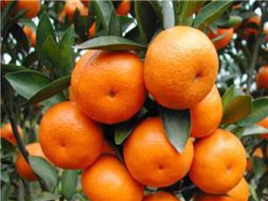 柑橘苗批发 各类果树苗出售 简阳在线网友 一律6折