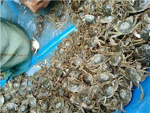 價格便宜,保鮮?;?,想吃鮮蟹現在就訂購吧!