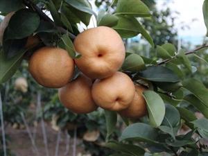 晚秋黃梨批發零售