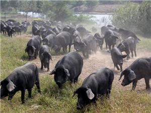 杞县家常土菜园 黑猪猪肉
