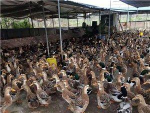 收購麻鴨種蛋