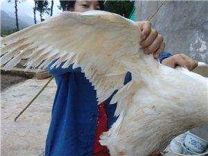 农家散养鸭
