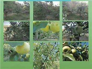 隆化蘋果采摘園開園了