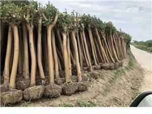常年出售各種苗木