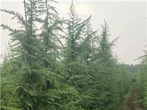常年出售各种绿化苗木占地苗木