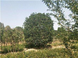 常年出售各种绿化占地工程用苗