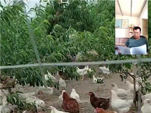 出售果園散養紅白雞