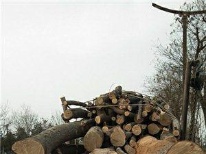 临潼区周边收各种树木伐树