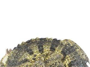 信陽鱷魚養殖場