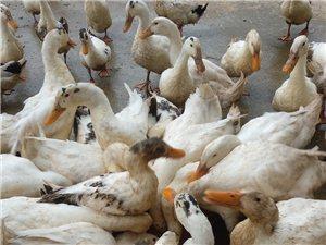 生态散养鸭