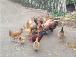 自家土鸡,欢迎选购