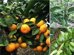 出售最新品種柑橘苗