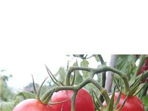 新鮮現摘千禧圣女果(小西紅柿)