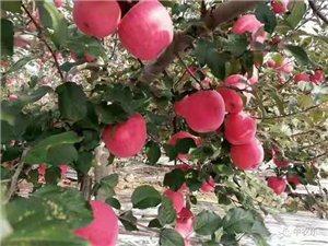 甘肅紅富士蘋果現摘