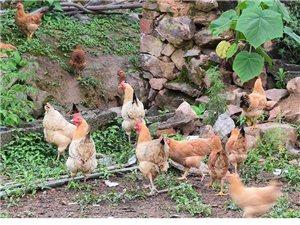 云南騰沖正宗土雞蛋農家散養新鮮純農村自養天然雞蛋