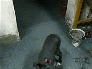 比特犬求收养