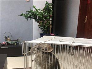 出售4個月大米色公龍貓一只