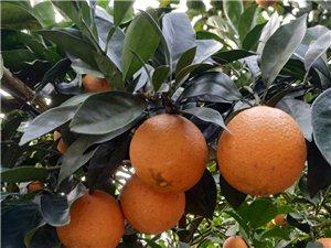 脐橙4-5万斤,果已转红色,果头均匀