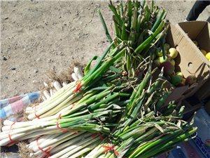 新城鎮長城村農戶自家種植鐵桿蔥