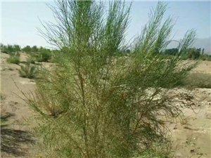 梭梭樹種子專業銷售,梭梭又名鹽木或瑣瑣