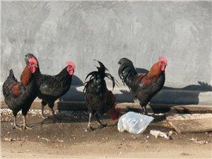 家养大公鸡出售
