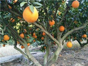 本人有10多万斤脐橙出售