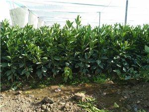 果农老板们可关注,本人有一批两年的果树苗出手。
