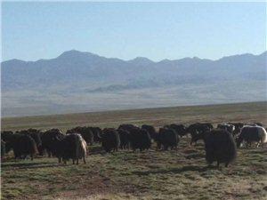 高原草膘牛