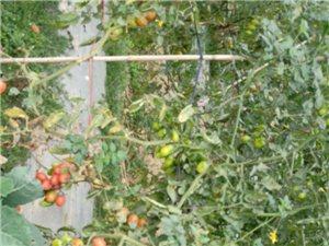 千禧水果番茄自摘